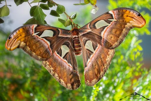 Farfalla cobra