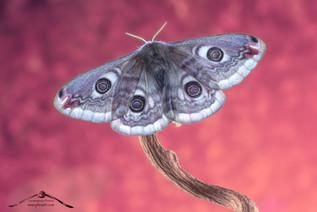 Saturnia pavoniella