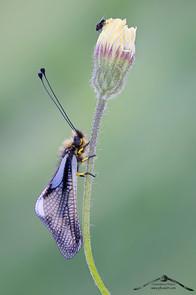 Libelloide coccajus