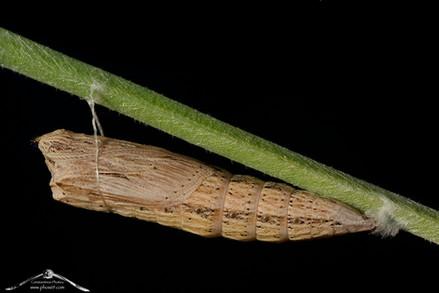 Zerynthia cassandra