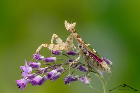 Creobroter gemmatus♀