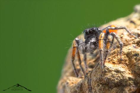 Philaeus chrysops