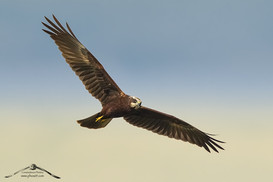 Falco di palude