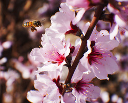 Hovering-Bee