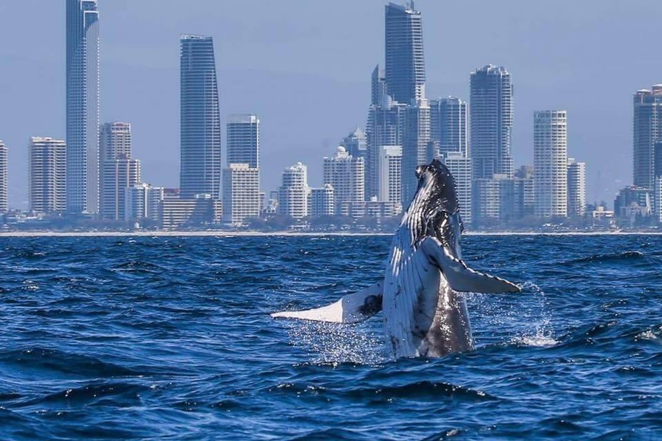 Humpback Gold Coast