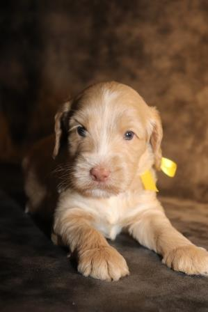 Caramel Abstract Labradoodle Puppy