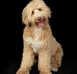 Caramel Abstract Labradoodle