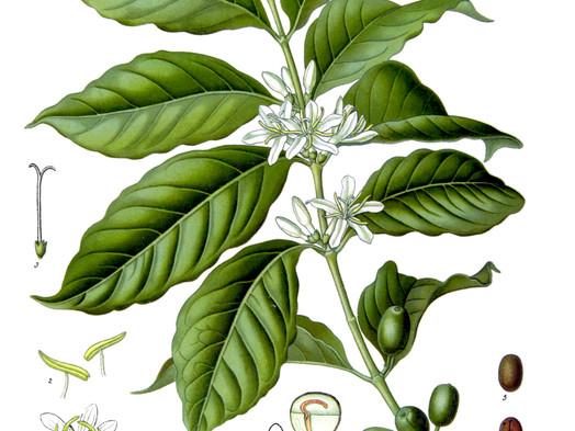 Rozdiely medzi kávu Arabika a Robusta