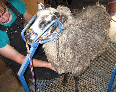 Lamb Magnus' first shearing