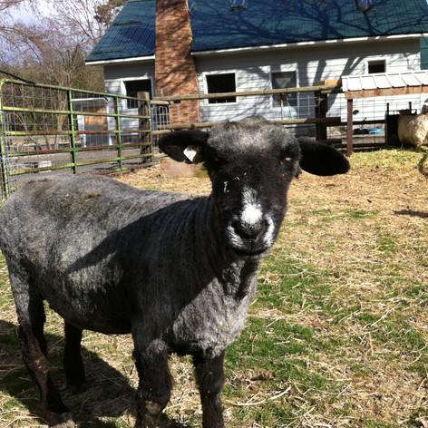 Elderly Harriett on shearing day - still looking good!