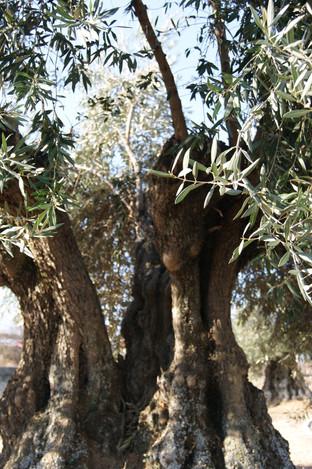 La brotación del olivo... ¡qué espectáculo tan maravilloso