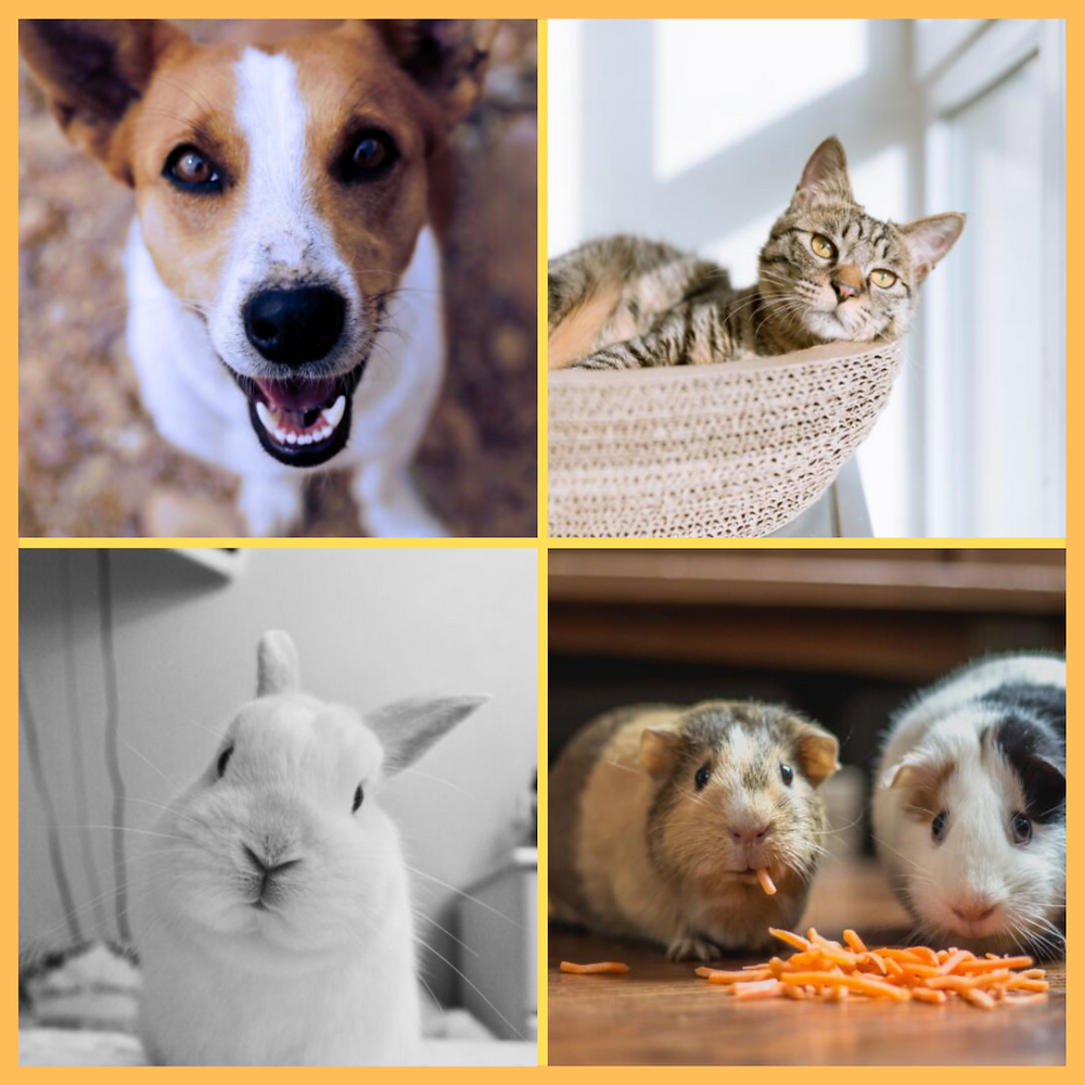 dog, cat, rabbit, and guinea pigs; pets kids may own