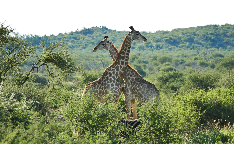 Two Giraffe Madikwe