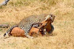 Leopard on Impala kill