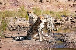 Male cheetahs Marataba