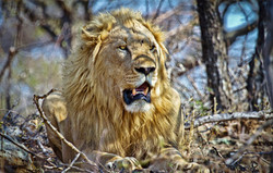 Male Lion Marataba
