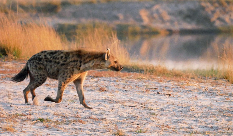 Spotted Hyena Chobe National Park