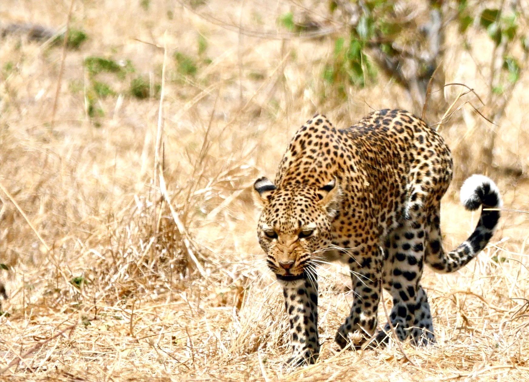 Leopard Chobe National Park