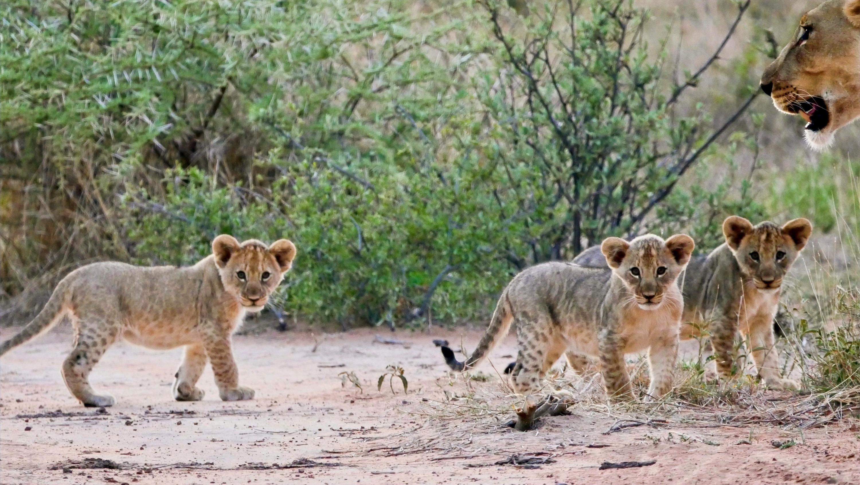 Lion cubs Marataba