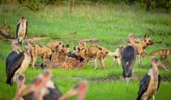 Wild Dogs on kill