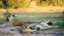 Pride of lions sleeping