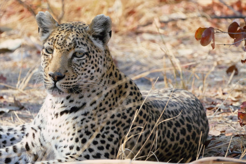 Leopard Okavango Delta