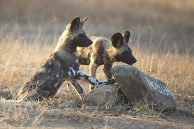 Nottens-Bush-Camp-wild-dog.jpg