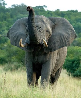 Elephant at Jaci's Sabi House, Sabi Sand Reserve