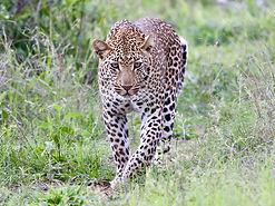 hoyo-hoyo-safari-leopard-1.jpg