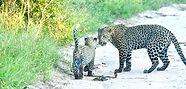 saseka leopards 2.jpg