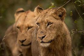 savanna lons 2.jpg