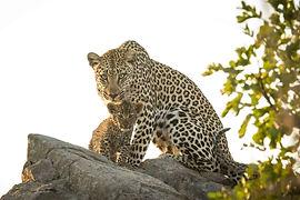 savanna leopard and cub.jpg