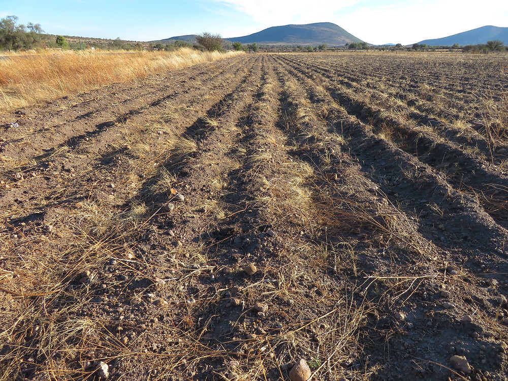 Long rows of horse-draw plow rows await seeding with corn, squash and beans.