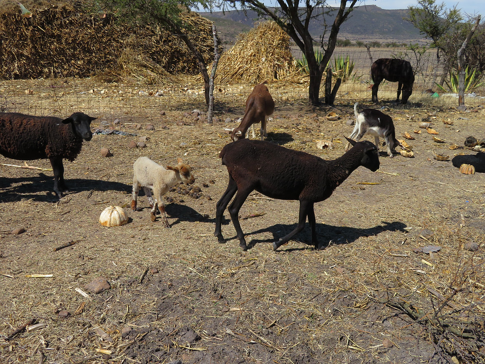 Small herd of goats and sheep help feed the family.