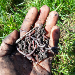 Who digs earthworms?