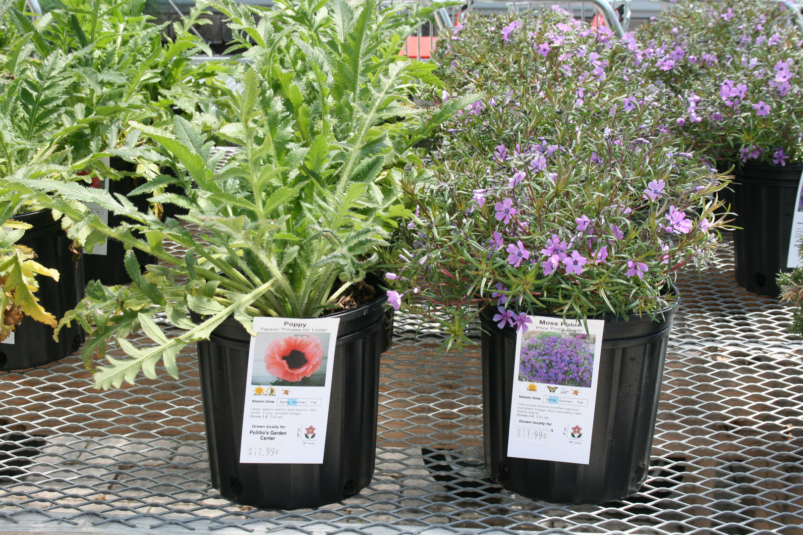 Poppy & Ground Phlox 1 Gallon