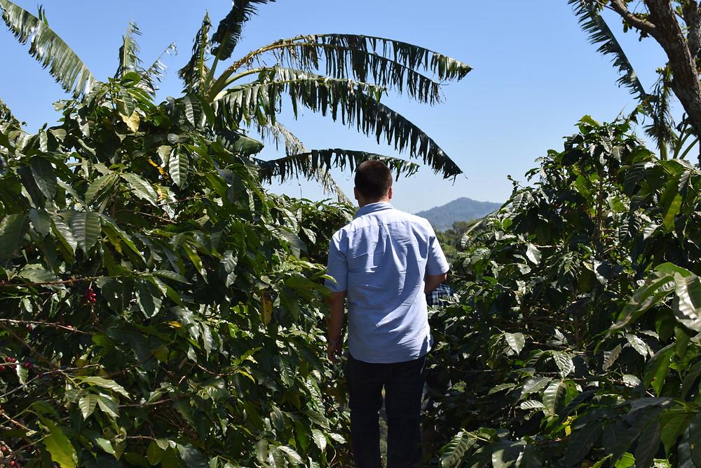 Coffee trees at Fraijanes Guatemala.