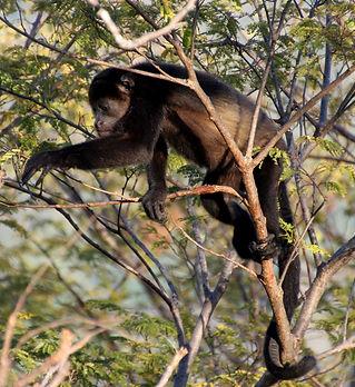 howler-monkey-1112746.jpg