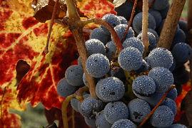 Mendocino grapes