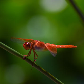 Descanso Dragonfly