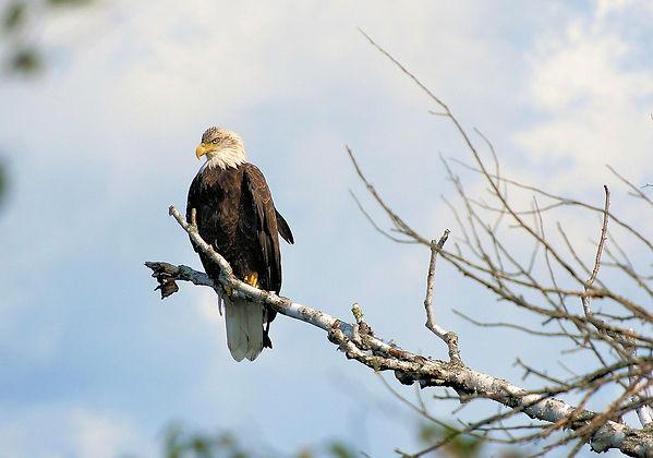 bald-eagle-2758743_1280.jpg