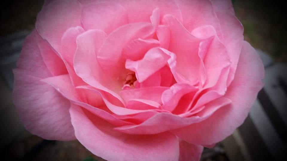 Pink Damask (Bewitched) hybrid tea rose Flower Essence  .5 oz. Stock bottle
