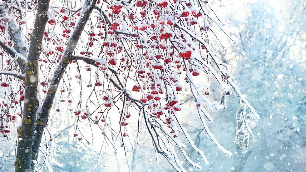 Celtic Rowan (Ruis) Tree Flower Essences Blend .5oz