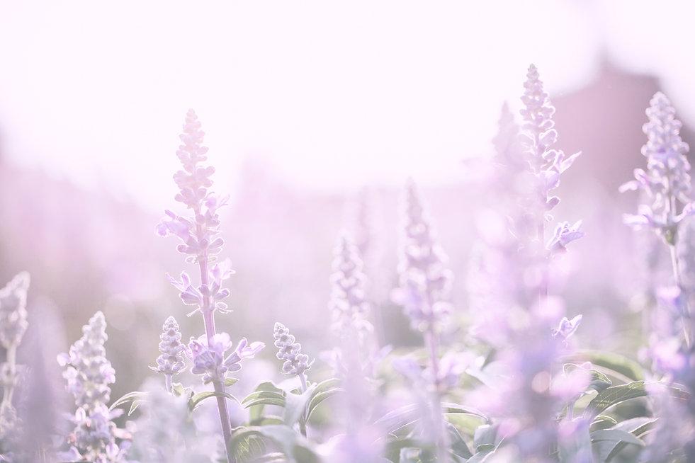 lavender flower with sunset.jpg