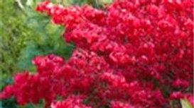 Burning Bush Essence (Euonymus Altus) Stock