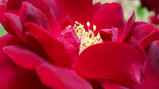 Red Rose Flower Essence  .5 oz. Stock