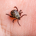Borrelia Infected Tick Insect Crawling o