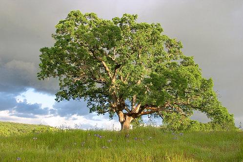Celtic Oak (Duir)Tree Flower Essence .5 oz Bottle