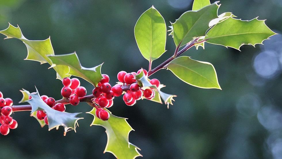 Celtic Holly (Tinne) Tree Flower Essence Blend  .5 oz Bottle