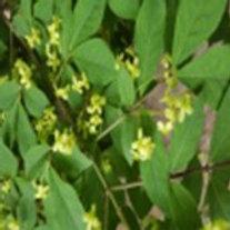 Burning Bush (Euonymus Altus) Stock Flower Essence   .5 oz Bottle